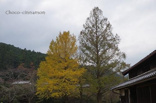 イチョウの木とメタセコイヤの木.JPG