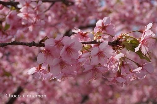 河津桜A.JPG
