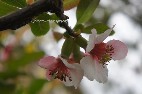 花梨の花A.JPG