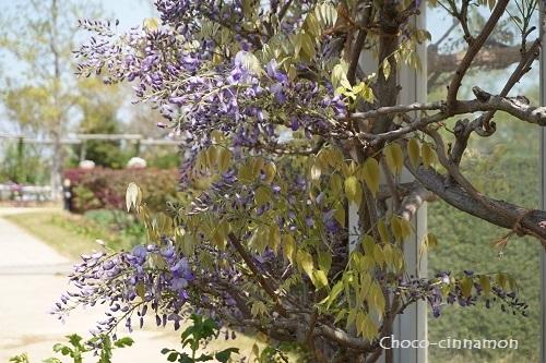 藤の花C.JPG